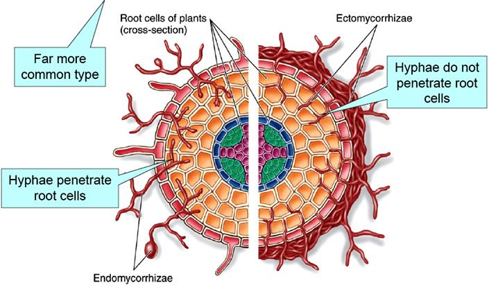 endomycorrhizae-ectomycorrhizae.png new_thumb[13]